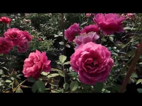 Hồng ngoại Aoi cực sai hoa   Hoa hồng Nhật màu hường tím đẹp mê ly