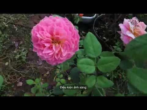 Hồng ngoại Claude Monet   Giống hồng sọc Claude Monet độc đáo   The Claude Monet Rose garden