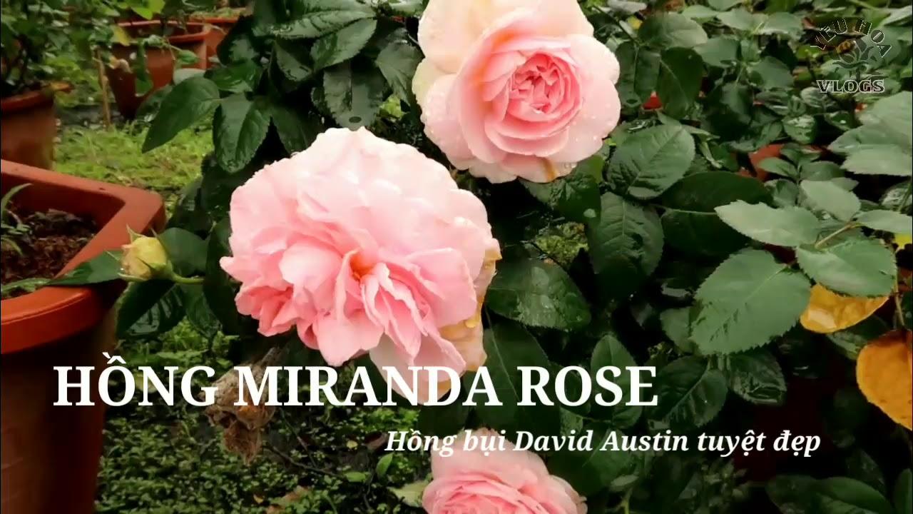 Hồng ngoại Miranda rose   Hoa hồng David Austin tuyệt đẹp