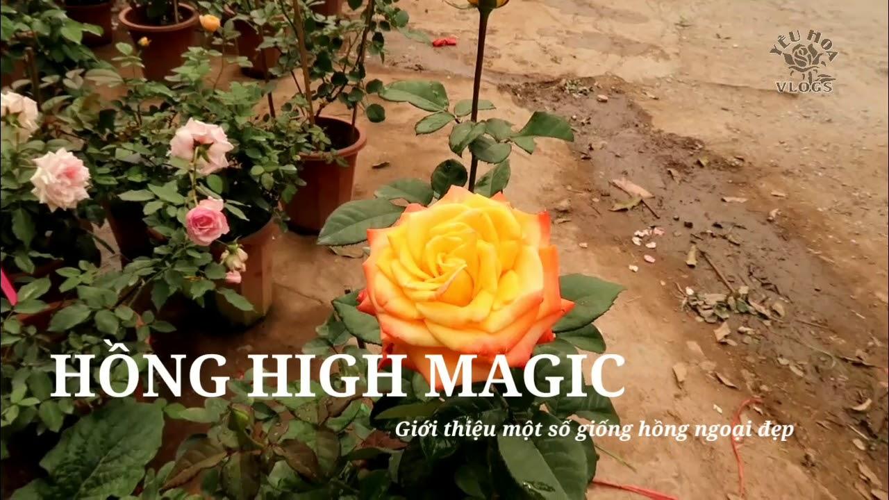 Hồng ngoại high Magic và The God Father Rose