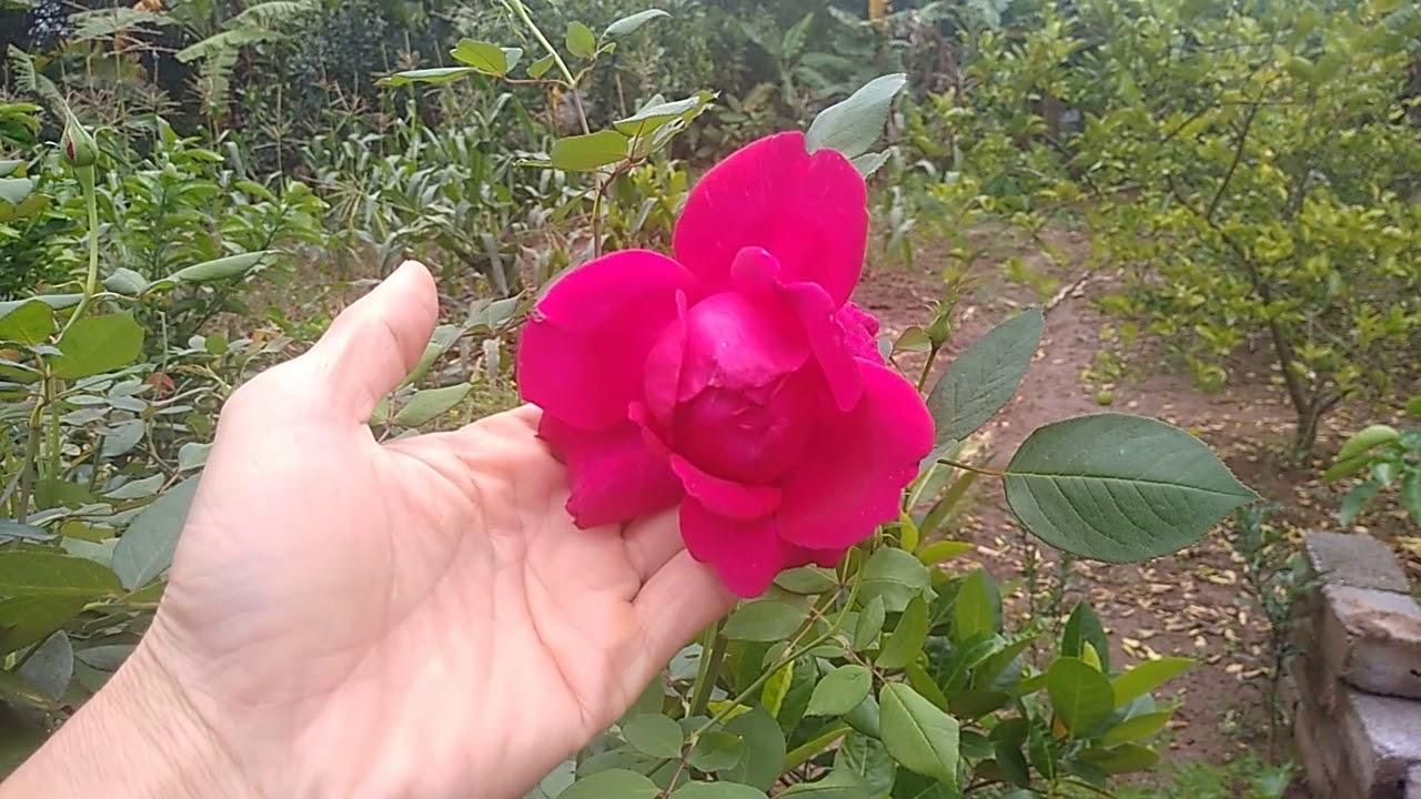 Hồng nhung ta cây lâu năm cho hoa thật đẹp