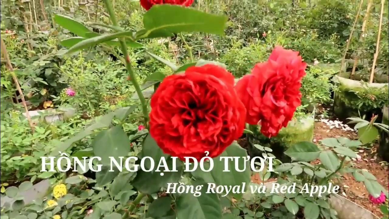 Hồng royal và hồng Red Apple   Hai giống hồng đỏ tuyệt đẹp