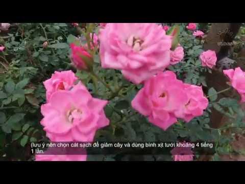 Hồng tỷ muội màu hồng độc đáo   Hoa hồng màu hường đẹp và sai hoa