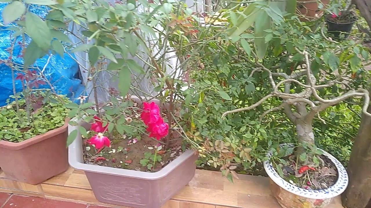 Khoe vườn hồng tuyệt đẹp   Hai gốc hồng nhung cổ cực to nhà Chú Họ