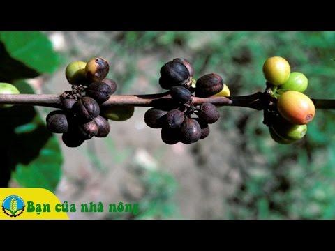 Kinh nghiệm, biện pháp phòng trừ hiệu quả bệnh khô cành, khô trái trên cây cà phê (cafe)