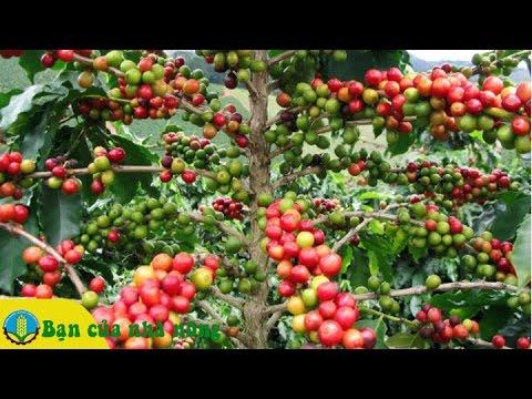 Kinh nghiệm cân bằng dinh dưỡng cho cây Cà phê (cafe) giai đoạn nuôi trái