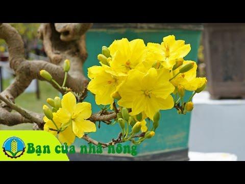 Kinh nghiệm chăm sóc cây mai ngày tết cho hoa đều, nhiều và đẹp