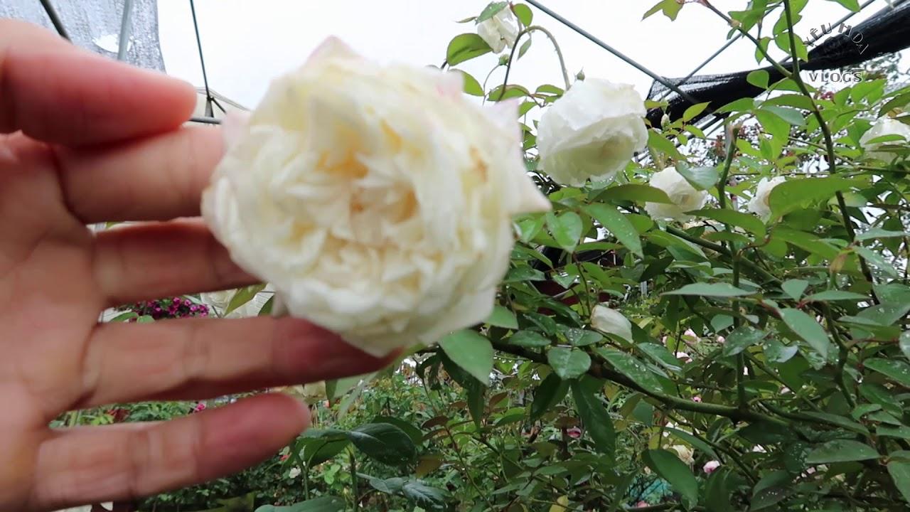 Kinh nghiệm chăm sóc hoa hồng: Cách ép để hoa hồng nở hoa sai vào dịp Tết