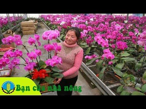 Kinh nghiệm chăm sóc phong lan tươi lâu trong dịp tết