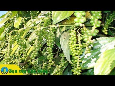 Kinh nghiệm hạn chế rụng trái ở cây tiêu bằng phân hưu cơ