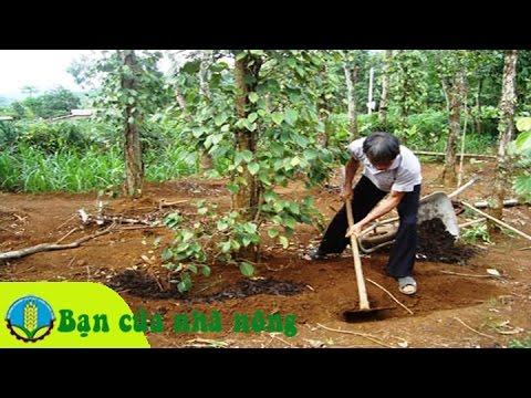 Kinh nghiệm, kỹ thuật bón phân hữu cơ cho cây tiêu đạt hiệu quả cao