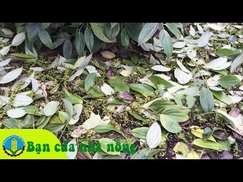 Kinh nghiệm, kỹ thuật hạn chế rụng trái cho cây tiêu vào mùa mưa
