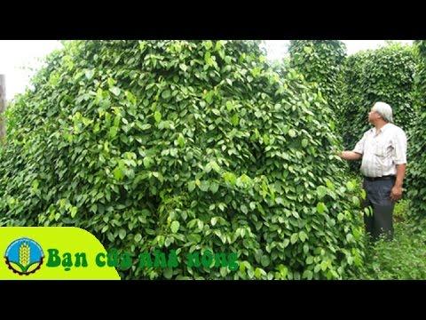 """Kinh nghiệm kỹ thuật trồng, chăm sóc, thu hoạch cây tiêu theo mô hình """"tiêu sạch"""""""