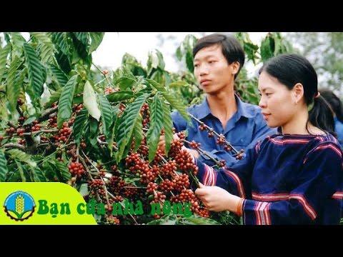 Kinh nghiệm, kỹ thuật trong thu hái và bảo quản cà phê (cafe)