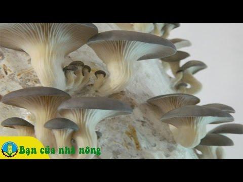 Kinh nghiệm, kỹ thuật trồng và chăm sóc Nấm bào ngư xám