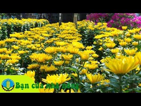 Kinh nghiệm, kỹ thuật trồng và chăm sóc hoa cúc đớn tết