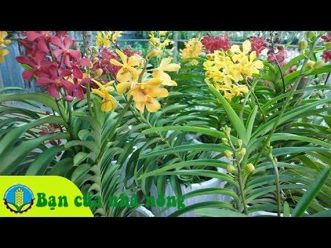 Kinh nghiệm, kỹ thuật trồng và chăm sóc hoa lan Mokara
