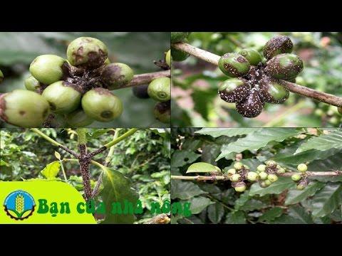 Kinh nghiệm phòng và diệt rệp hại cây cafe (cà phê)
