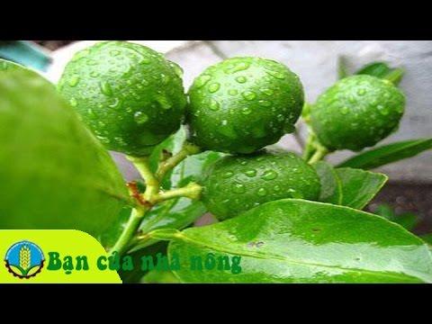 Kinh nghiệm phòng và trị dịch hại trên cây cam và quýt