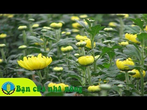 Kinh nghiệm trồng và chăm sóc cây hoa cúc đại đóa, cúc pha lê