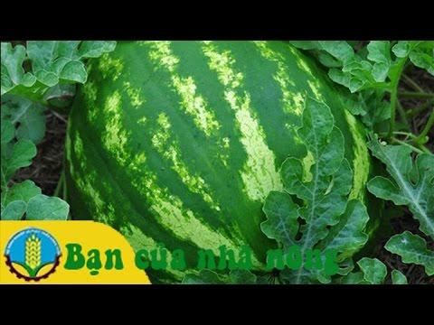 Kinh nghiệm trồng và chăm sóc dưa hấu vào mùa mưa