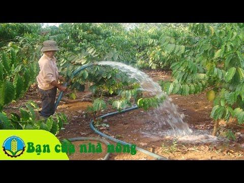 Kinh nghiệm tưới nước và bòn phân cho cây cafe (cà phê) sau tết hiệu quả