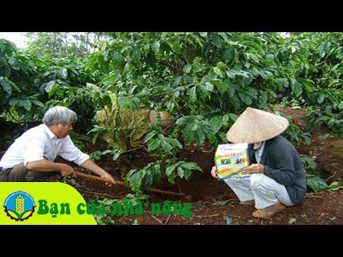 Kỹ thuật bón phân và chăm sóc cây cà phê vào mùa khô