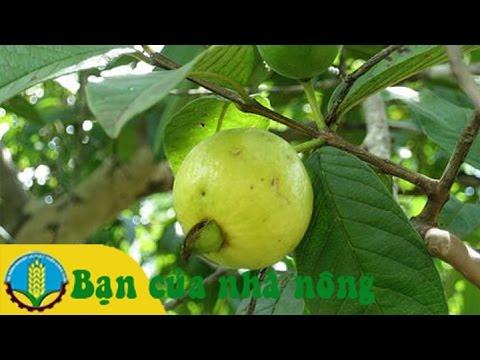 Kỹ thuật, kinh nghiệm chăm sóc cây ăn trái trong mùa mưa