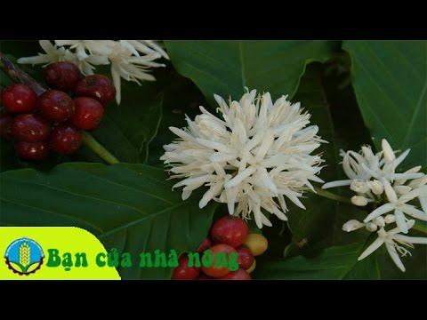 Kỹ thuật, kinh nghiệm diệt trừ cỏ an toàn cho vườn cà phê (cafe)