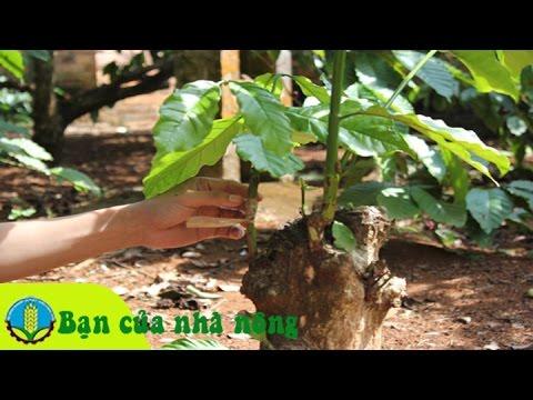 Kỹ thuật, kinh nghiệm ghép cà phê (cafe) cải tạo năng xuất chất lượng vườn cafe