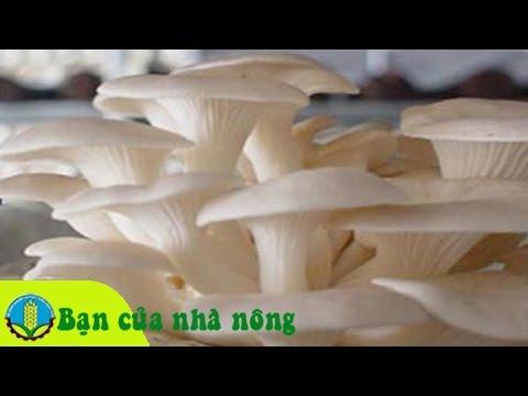 Kỹ thuật, kinh nghiệm trồng và chăm sóc nấm sò ở Tây Nguyên