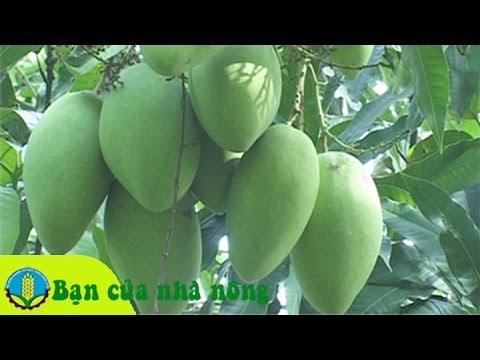 Kỹ thuật, kinh nghiệm trồng và chăm sóc xoài cát Hòa Lộc