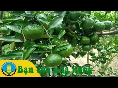 Kỹ thuật trồng cam theo mô hình VietGap