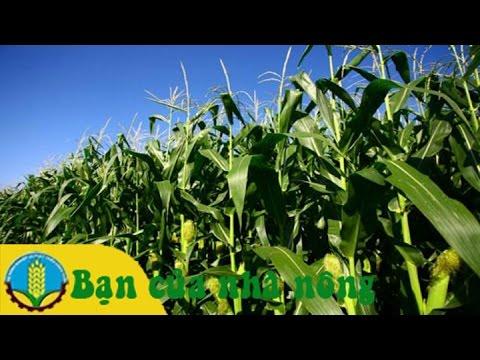 Kỹ thuật trồng chăm sóc và ủ bắp làm thức ăn gia súc