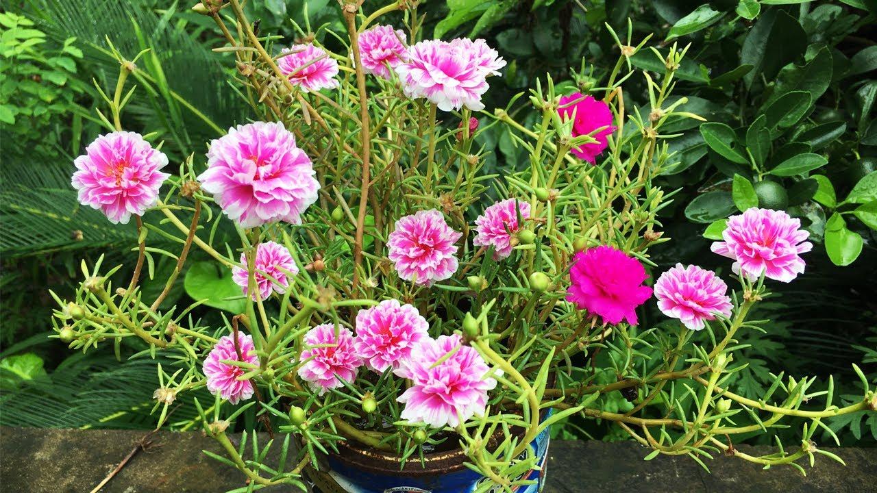 Kỹ thuật trồng hoa 10 giờ nở nhiều hoa - những lưu ý quan trọng
