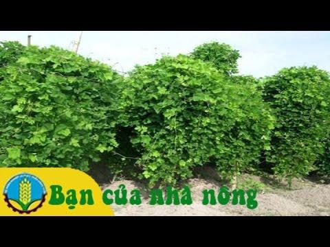 Kỹ thuật trồng sắn dây đạt hiệu quả cao ở các tỉnh phía nam