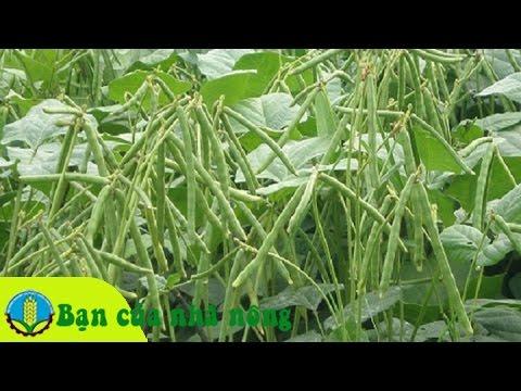 Kỹ thuật trồng và chăm cây đậu xanh năng xuất cao