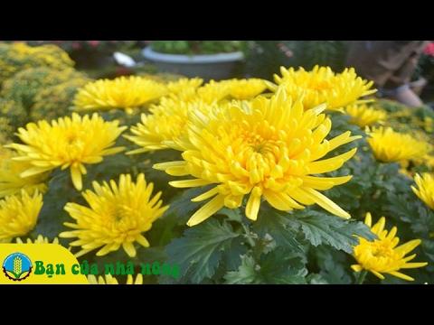 Kỹ thuật trồng và chăm sóc hoa Cúc theo công nghệ mới