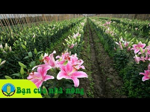 Kỹ thuật trồng và chăm sóc hoa ly ngày tết và những điều lưu ý