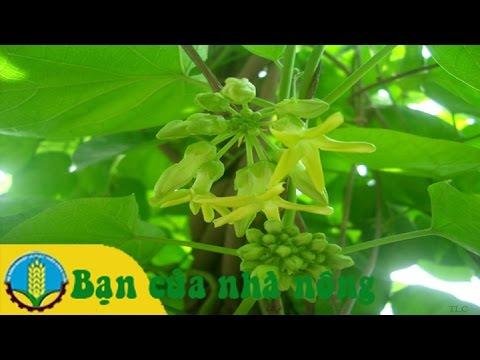 Kỹ thuật trồng và chăm sóc hoa thiên lý cho ra nhiều bông