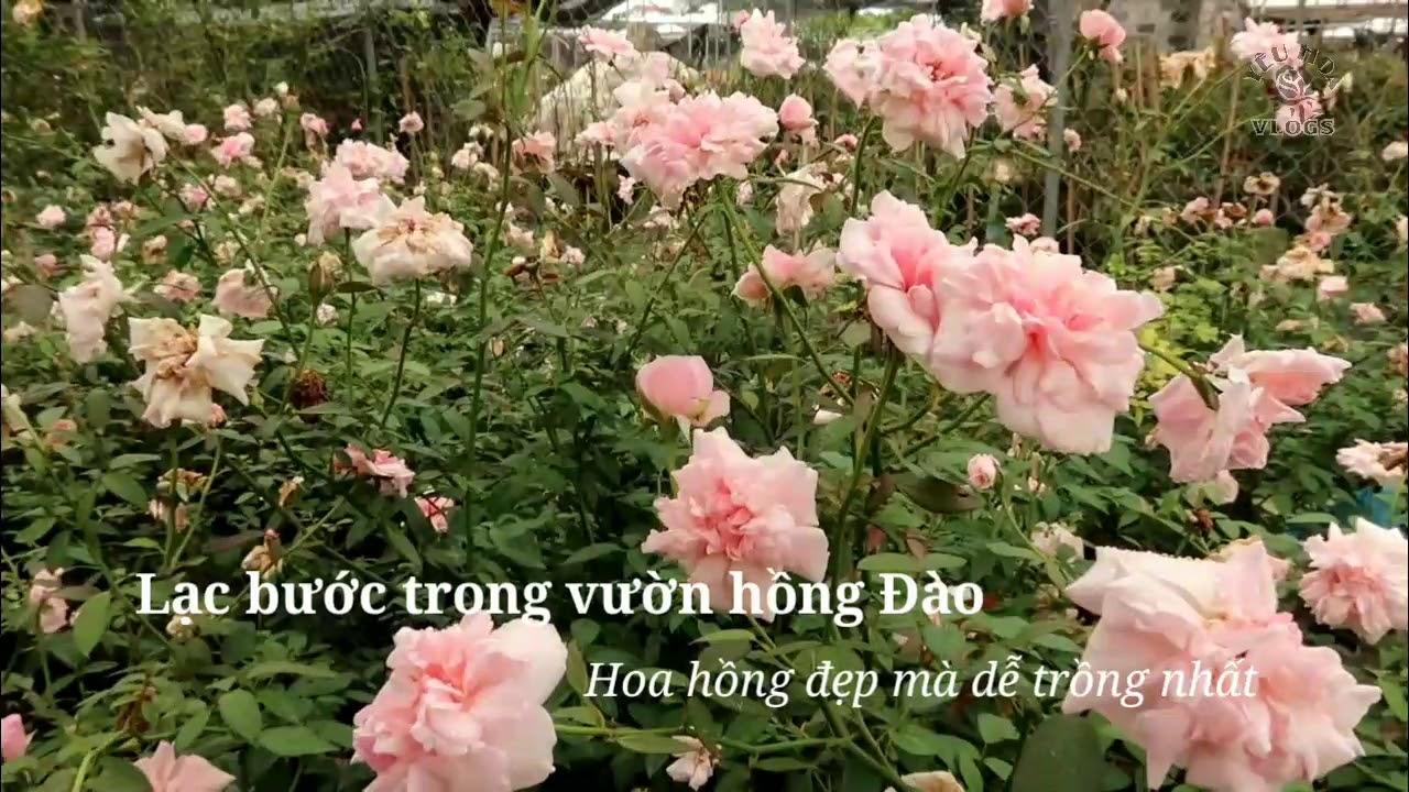 Lạc bước trong Vườn hoa hồng Đào đang nở rộ mùa thu
