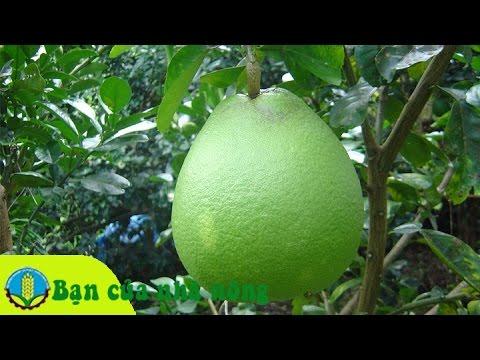 Làm giàu từ mô hình trồng bưởi da xanh ở Đông Nam Bộ