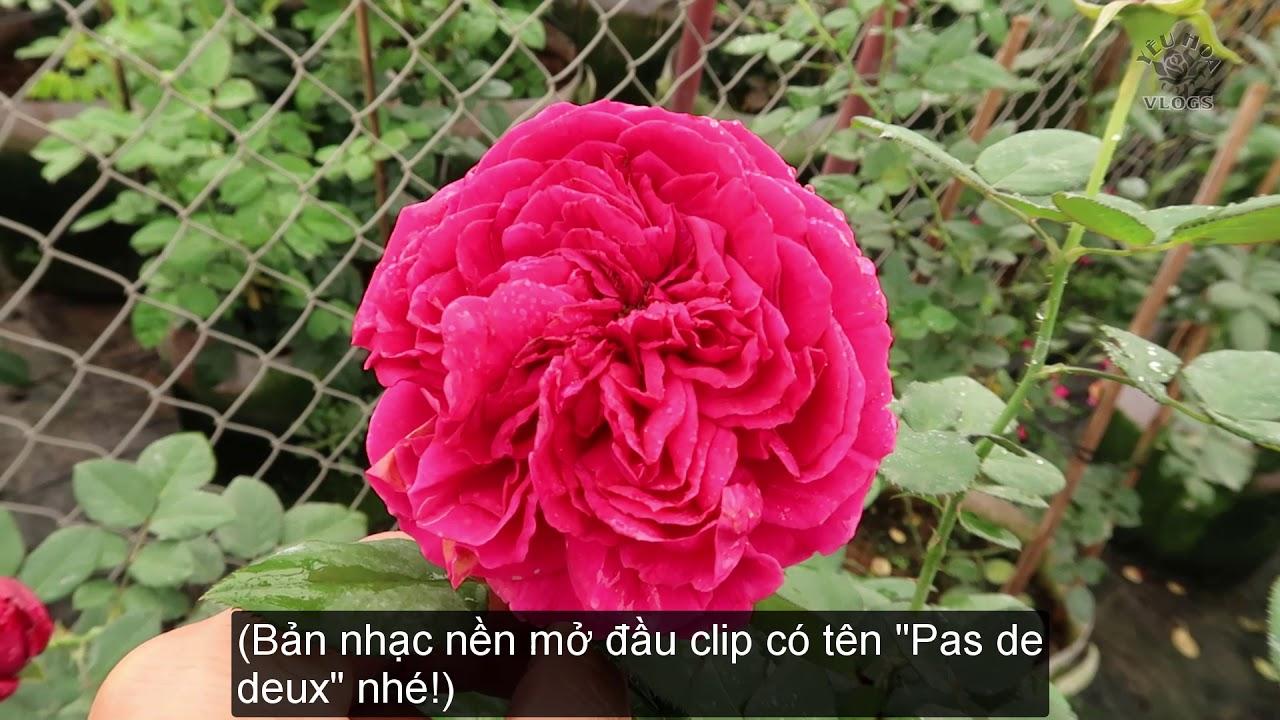 Lưu luyến bên vườn Hồng Pas de Deux   Màu đỏ rực rỡ một góc trời