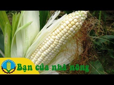 Mô hình, kỹ thuật trồng bắp (ngô) lai mang lại hiệu quả cao