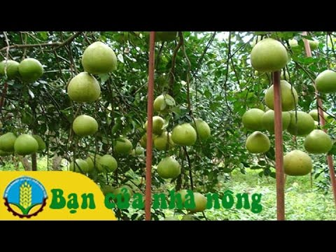 Mô hình, kỹ thuật trồng bưởi theo quy trình VietGap