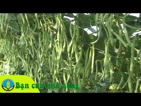 Mô hình, kỹ thuật trồng cà chăm sóc đậu cove theo chuẩn VietGap