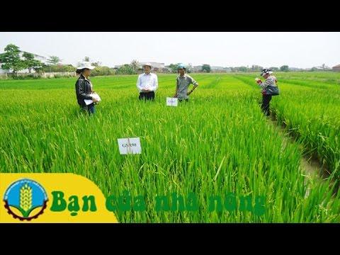 Mô hình, kỹ thuật trồng lúa theo chuẩn VietGap