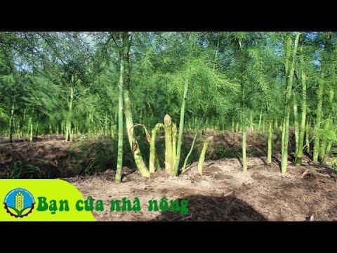 Mô hình, kỹ thuật trồng và chăm sóc cây măng tây