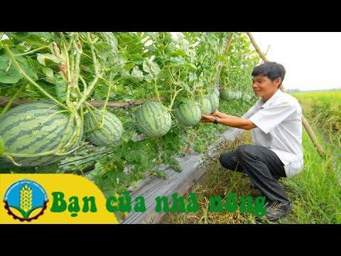 Mô hình, kỹ thuật trồng và chăm sóc dưa hấu không hạt leo giàn (Phần 1)