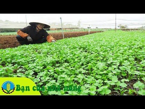 Mô hình, kỹ thuật trồng và chăm sóc rau theo chuẩn VietGap